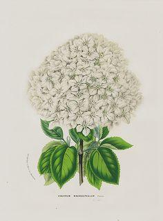 Antique Botanical Prints by Louis Van Houtte 1845
