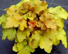 Heuchera 'September Morn' Fantastic plant with deeply ruffled foliage of orange with gold and pink tones Neat and compact - great for Containers or borders Pale pink flowers opening to white Happy in full sun/partial shade Height 25cm Spread 30cm