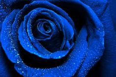 beautiful dark blue rose with water dew drops stock photo Double Exposure Photography, Levitation Photography, Water Photography, Abstract Photography, Macro Photography, Wedding Photography, African Love, Experimental Photography, Born To Run