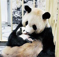 画像 Panda Love, Cute Panda, Animals And Pets, Baby Animals, Cute Animals, Beautiful Creatures, Animals Beautiful, Baby Panda Bears, Panda Babies