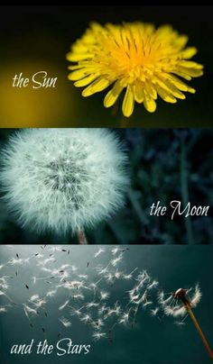 I used to cook a 'mess' of dandelion greens for a side dish. So good for you… I used to cook a 'mess' of dandelion greens for a side dish. So good for you! Dandelion Quotes, Dandelion Art, Dandelion Wish, Dandelion Pictures, Beautiful Flowers, Beautiful Pictures, Image Deco, Jolie Photo, Pics Art