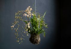 Mooie Oncidium Orchidee van Stringgardens. #WeBloom like!