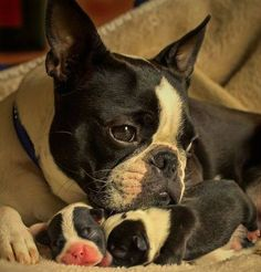 If I was a Boston terrier this is what I would look like
