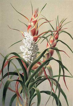 Richea dracophylla - Pineapple Candleheath - artist: Louisa Ann Meredith (1812 - 1895)