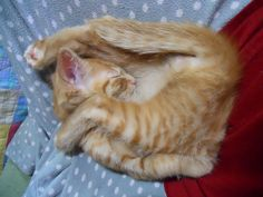 Juniper the kitty sleeps folded in half lol