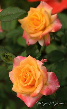 'Bees Knees' miniature rose