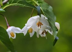 Egonoki (japanese name) /  Styrax japonicus (scientific name)