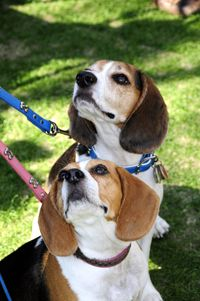 #beagles (The owner in this pic must be holding a treat)