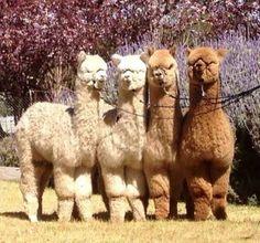 Alpakalar Farm Animals, Animals And Pets, Funny Animals, Cute Animals, Alpacas, Beautiful Creatures, Animals Beautiful, Alpaca My Bags, Cute Alpaca