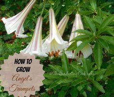 Brugmansia or Angel's trumpets are a member of the hemlock family and are poisonous but so beautiful.  See how to grow them:  thegardeningcook.com/grow-angels-trumpet-brugmansia