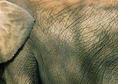Hier zie je de structuur van de huid van een olifant, de huid op de rug is ruw en vol met een soort van 'barsten' en het oor is glad van structuur.