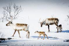 Carl-Johan Utsi, Sápmi, reindeer herder, Jokkmokk, Laponia, Vaisaluokta and such. @portfoliobox