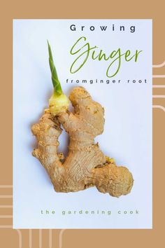 Ginger is easy to sprout and will grow into plants in just a few weeks. Find out how too do it on The Gardening Cook. Grow Ginger From Root, Growing Ginger, Easy Plants To Grow, Growing Plants, Ginger Plant, Anti Inflammatory Recipes, Diy Garden Projects, Grow Your Own Food, Diy For Kids