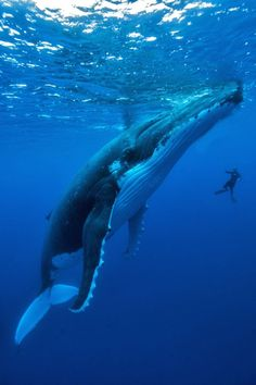 Humpback whale song is drowned out by loud cargo ships. - # - Humpback whale song is drowned out by loud cargo ships. Orcas, Ocean And Earth, Whale Song, Water Animals, Humpback Whale, Underwater World, Underwater Photography, Amazing Photography, Sea World