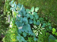 Blue Hosta in shade garden