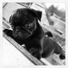 Baby pug says: May I come up and sit wif you?