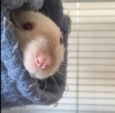 Snoot #aww #cute #rat #cuterats #ratsofpinterest #cuddle #fluffy #animals #pets #bestfriend #ittssofluffy #boopthesnoot