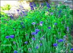 Centaurea cyanus with Salvia guaranitica 'Black & Blue'; by Freda Cameron at Defining Your Home