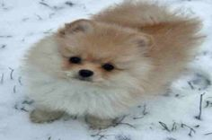 Top 10 World Most Popular Maltese Mix Dog Breeds With Cute Nicknames Cute Baby Dogs, I Love Dogs, Cute Puppies, Dogs And Puppies, Doggies, Chat Munchkin, Animals And Pets, Funny Animals, Maltipoo Dog