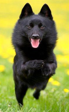 Шипперке (фото): маленький и смелый охранник, веселый друг