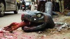 Giant Anaconda vs Cow, vs Man Real Fight | SK4News (Srok Khmer For News)