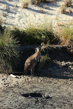 Kangaroo on Ravine des Casoars hike  Hiking to a secret beach on remote Kangaroo Island via The World on my Necklace