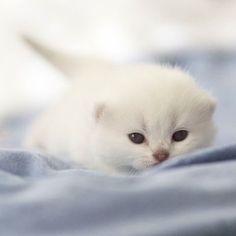 Hi, I am Joanne. I am 2 weeks old and just opened my eyes #litter J #Apollo + #Zabava #chichilla color #blueyes #instakitty #kitty #kitten #britishkittens #britishshorthair #cat #love #lovekittens #meow #purr #newborn #picture #love #cutecat #cutecat #sweet #instagood #instacute @meowbox @insta_chicago @kittensofinstagram @insta_chicago @instacat_meows @amazing_picturez @bestcats_oftheworld @daily.cute.pets @animalss.photos @themostperfectpets #lorettabritishcattery