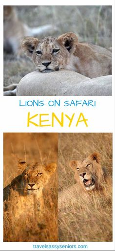 On my last trip to the Maasai Mara in Kenya I visited the Olare Orak Conservancy, while there I had the experience of a close up and personal with the Moniko pride of lions.