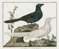 François Nicolas Martinet Bird Prints 1760 From Ornithological by Brisson: Eagles, Kingfishers, Woodpeckers, Owls & More