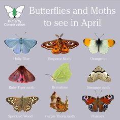 Spring is officially here and with it comes the start of the butterfly and moth season! Here are a handful of the species you could see over the next few weeks 🌸 Beautiful Bugs, Beautiful Butterflies, Butterfly Identification, Emperor Moth, Butterfly Species, Butterfly Art, Types Of Butterflies, Holly Blue, Tiger Moth