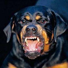 rottweiler fear aggression