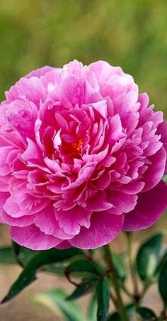 Vibrant 'Better Times' Peonies