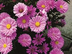 Here, you'll see beautiful perennials in garden settings and in combination with other plants. Flower Names, Guy Stuff, Aster, Drought Tolerant, Pastel Pink, The Great Outdoors, Color Splash, Perennials, Pink Flowers