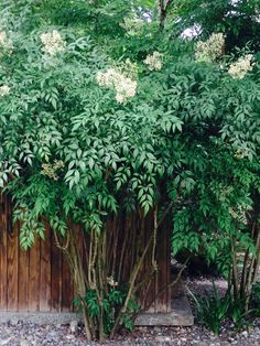 Heavenly bamboo Nandina as a screen or hedge. Does well in part shade, evergreen, flowers in late summer. Evergreens For Shade, Shade Evergreen, Trees And Shrubs, Evergreen Flowers, Garden Privacy, Garden Shrubs, Shade Garden, Bamboo Landscape, House Landscape