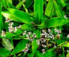 Herniated disk, low back pain and spine injury disease ...: Callisia fragrans cure arthritis, anti-inflammatory, immune booster
