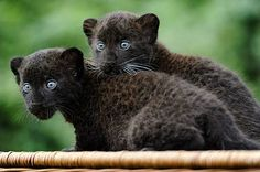 Pet a Black leopard cub at the West Coast Game Park, Bandon, Oregon
