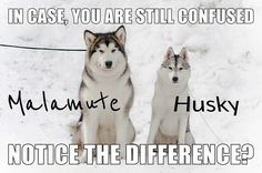 Wonderful All About The Siberian Husky Ideas. Prodigious All About The Siberian Husky Ideas. Malamute Husky, My Husky, Siberian Husky Puppies, Husky Mix, Siberian Huskies, Husky Puppy, Alaskan Husky, Giant Alaskan Malamute, Alaskan Malamute Puppies