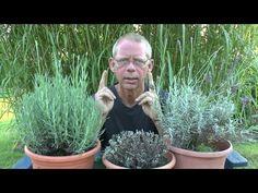 Lavendula schneiden im August River Flow In You, Buxus, Bonsai, Garden Sculpture, Succulents, Lavender, Gardening, Outdoor Decor, Youtube