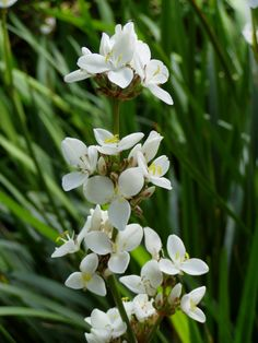 Libertia grandiflora a lovely white flower on an evergreen foliage, perfect for the front garden. Will look great with Heuchera and grasses.