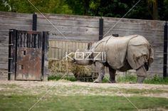 feeding time - Rhinoceros feeding on grass left by zoo keeper.