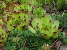 Sempervivum sp., Androsace sempervivoides