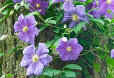 How to Train a Clematis on a Tree Trunk (Clematis 'Perle d' Azur') ~Wife, Mother, Gardener