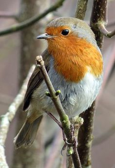 Robin, Rotkehlchen