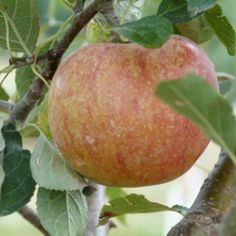 Cox's Orange Pippin apple tree — Originates from England, circa 1825.