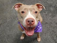 TO BE DESTROYED 9/8/14 Manhattan Center -P My name is DIAMON. My Animal ID # is A1012708. I am a female cream and white pit bull mix. The shelter thinks I am about 3 YEARS old. **$150 DONATION to the NEW HOPE RESCUE that pulls! Please see URGENT for details** I came in the shelter as a STRAY on 09/02/2014 from NY 10029, owner surrender reason stated was STRAY. https://www.facebook.com/Urgentdeathrowdogs/photos/a.611290788883804.1073741851.152876678058553/867464729933074/?type=3&theater