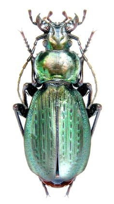 Carabus (Neoplectes) edithae (Reitter, F Carabidae Cool Insects, Types Of Insects, Bugs And Insects, Bed Bug Bites, Cool Bugs, Beetle Bug, Beautiful Bugs, Creature Feature, Colorful Birds
