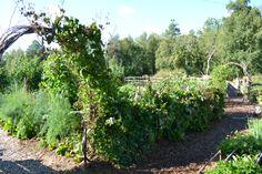 Skrotcykelspaljén på tillväxt. 10-12 plantor av blå klockranka täcker skrotcyklarna.