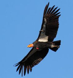 A comprehensive study led by environmental toxicologists at the University of California, Santa Cruz, shows that California condors are continually exposed to harmful levels of lead, the principal source of that lead is ammunition, and lead poisoning from ammunition is preventing the recovery of the condor population.