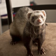 Ferret related crafts