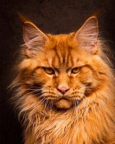 Mythical Beasts – Un photographe capture de superbes portraits de Maine Coon | Ufunk.net